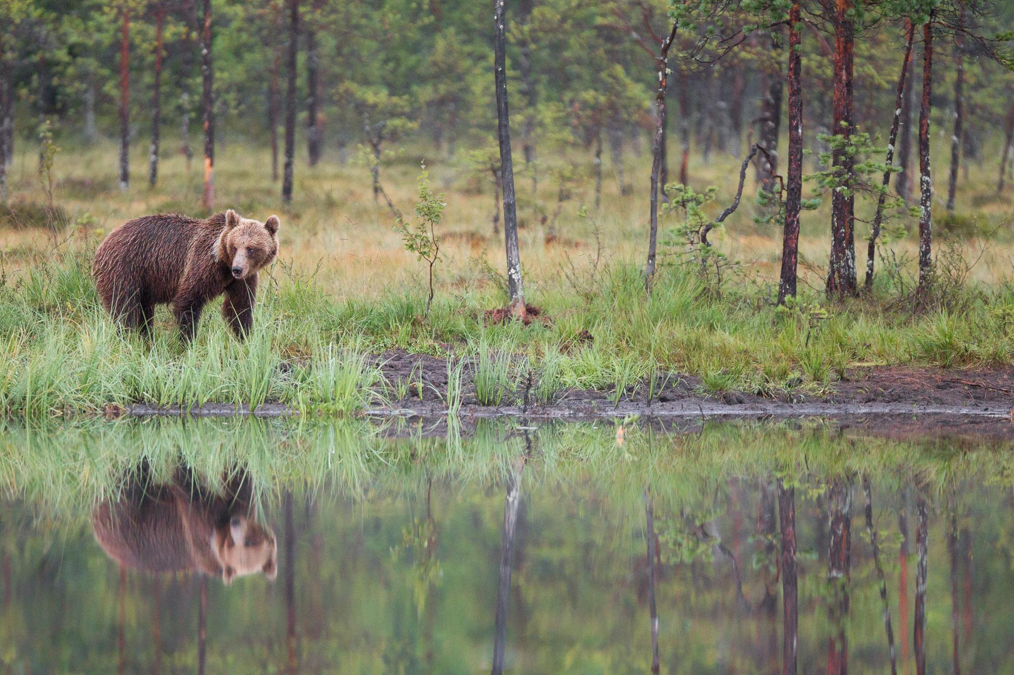 Brown Bear ~ Finland