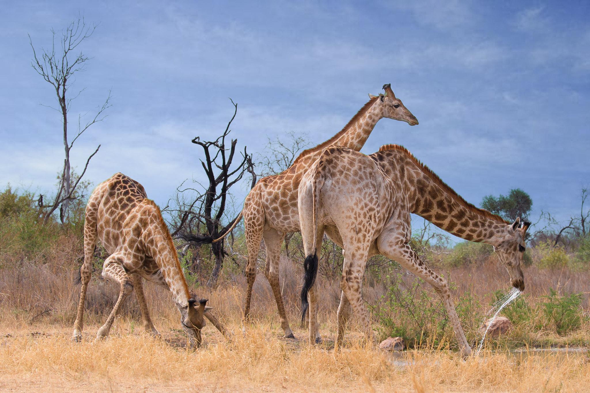 Giraffes ~Nysvley, South Africa