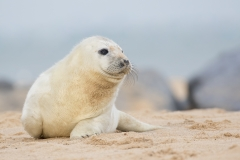Grey Seal Pup ~ Winterton. Norfolk