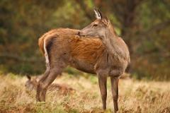 Red Deer ~ Richmond Park, UK