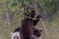 Brown Bear Cubs ~ Finland