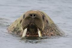 Walrus ~ Svalbard