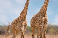 Giraffes ~ Nysvley, South Africa