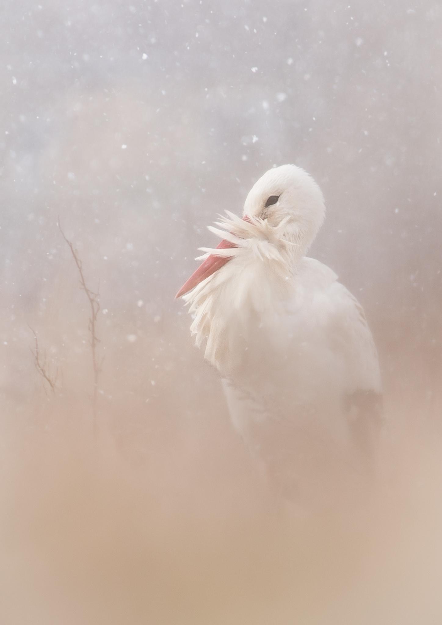 White Stork ~ Denmark
