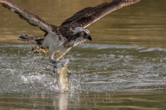 Osprey ~ Rutland