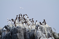 Guillemots ~ Farne Islands