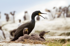 Shag with chicks ~ Farne Islands