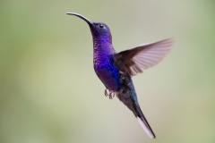 Violet Sabrewing Hummingbird ~ Costa Rica