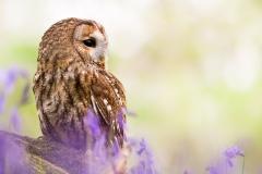 Tawny owl ~ Essex