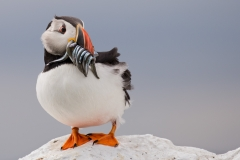 Puffin with SandEels ~ Farne