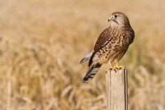Kestrel ~ Essex