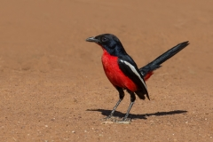 Crimson Breasted Shrike ~ South Africa